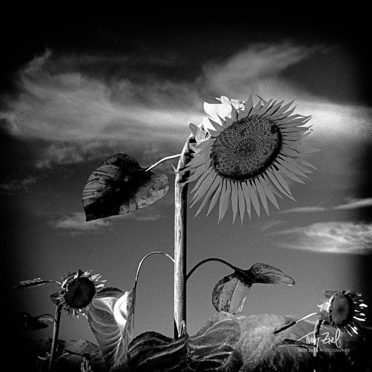 LED Sunflower
